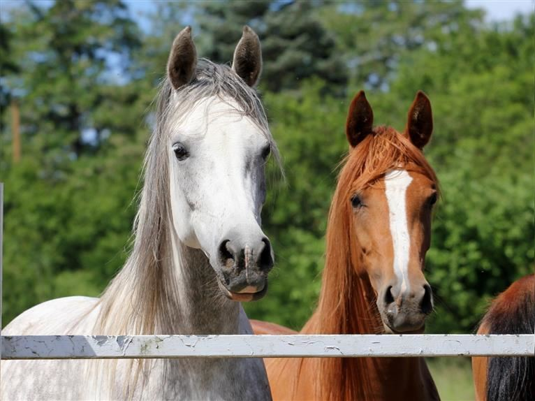 Arabian horses Mare 9 years 14,2 hh Chestnut-Red