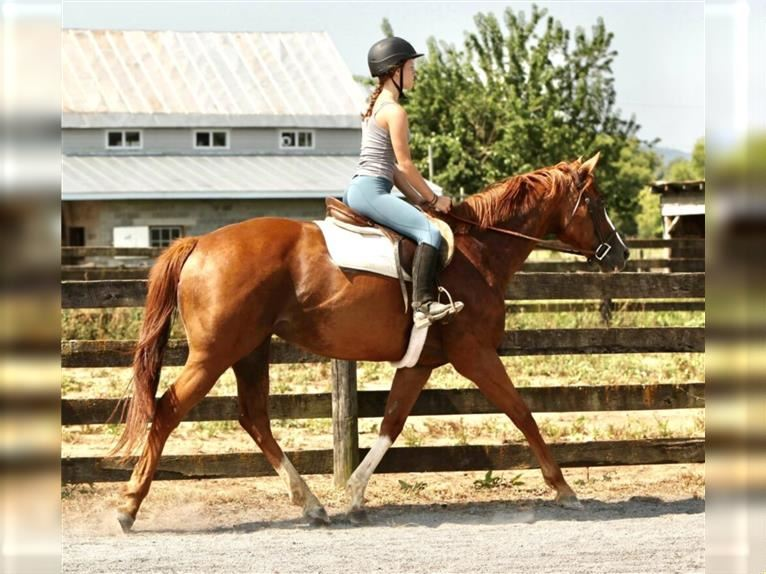 Other Thoroughbreds Mare 12 years 15,3 hh Chestnut