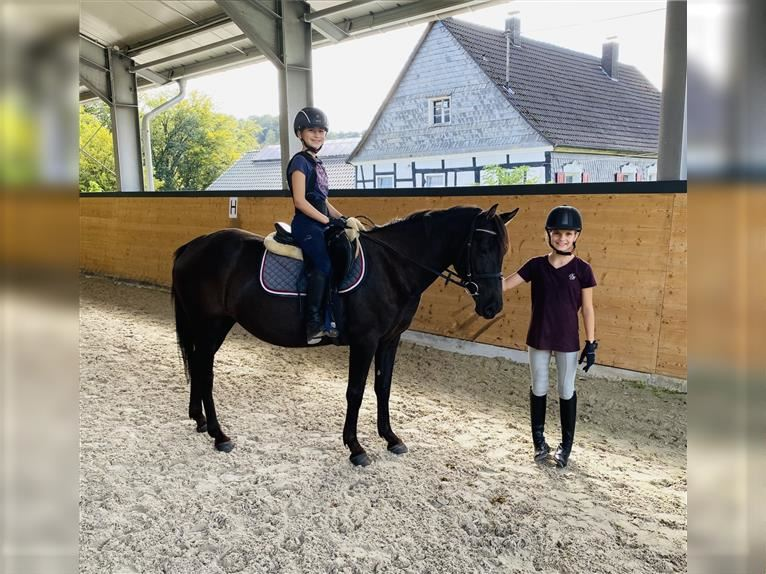 More ponies/small horses Mare 6 years 14,1 hh Black