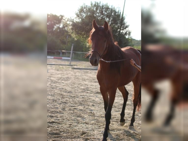 Straight Egyptian Mare 2 years Brown