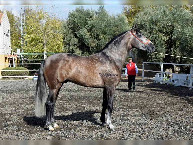 Andalusian Stallion 5 Years 17 Hh Brown Falb Mold