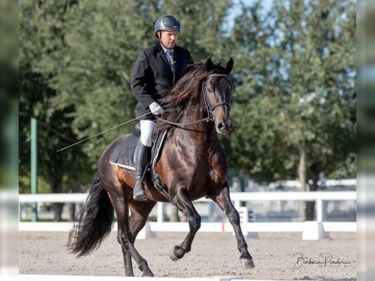 Andalusier Hengst Rappe