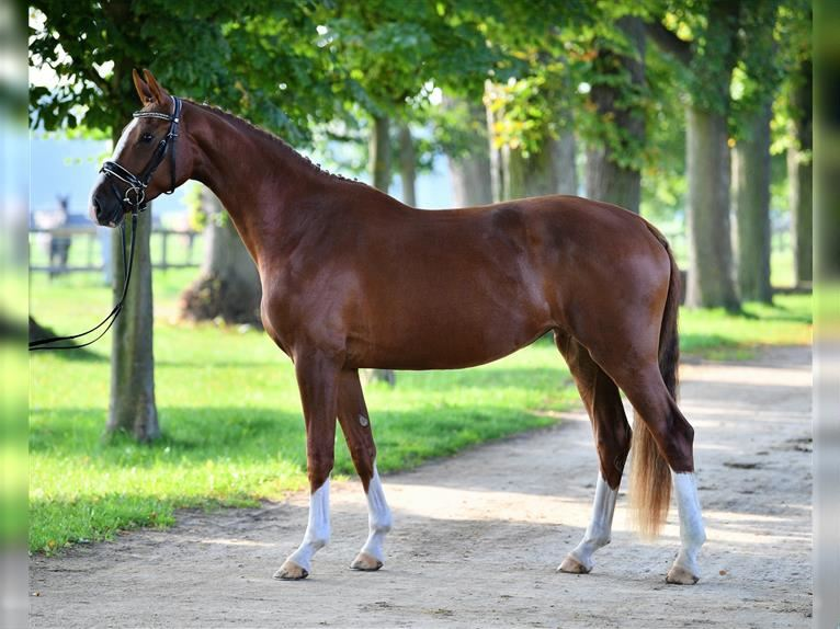 German Sport Horse Mare 3 years 16,1 hh Chestnut-Red