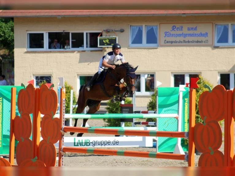 German Sport Horse Mare 8 years 16,1 hh Brown