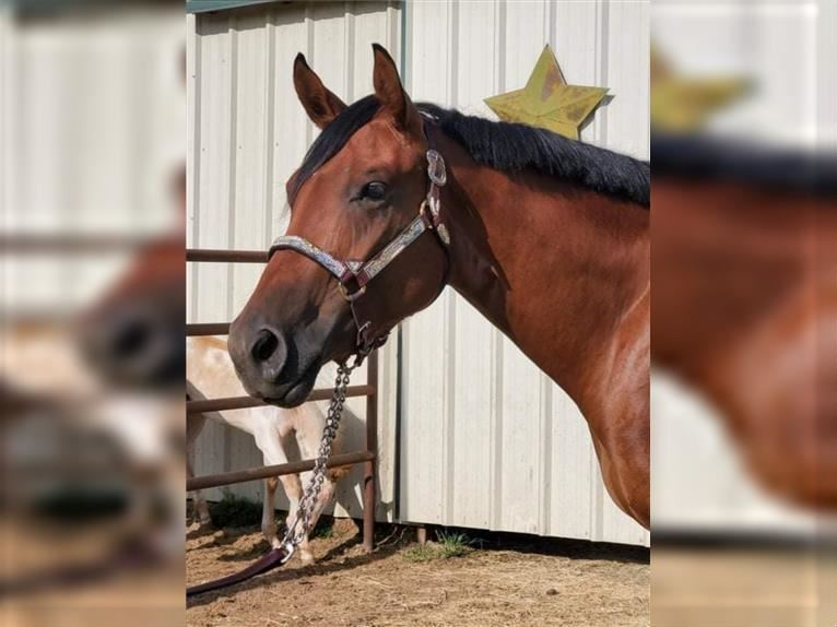 Paint Horse Mare 2 years Bay
