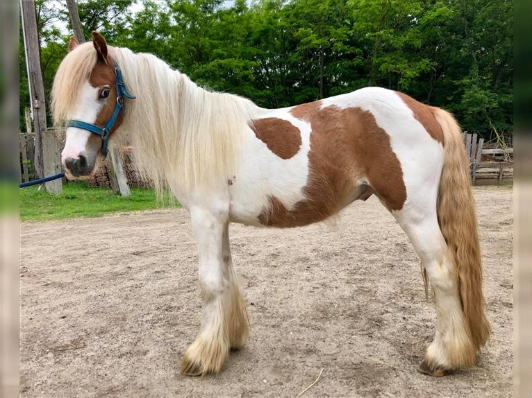 Gypsy Horse Stallion 3 Years 12 2 Hh Pinto
