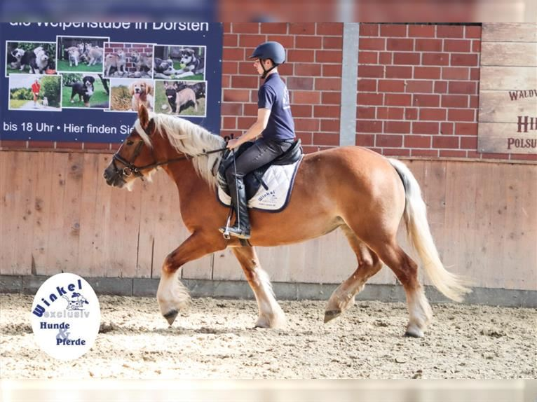 Other Heavy Horses Mare 3 years 15,2 hh Chestnut-Red