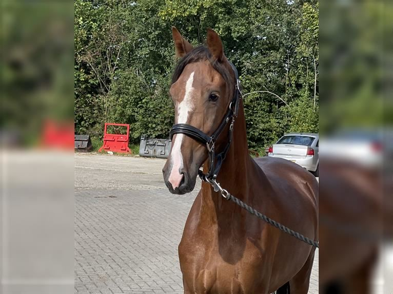 KWPN Mare 3 years 15,2 hh Chestnut