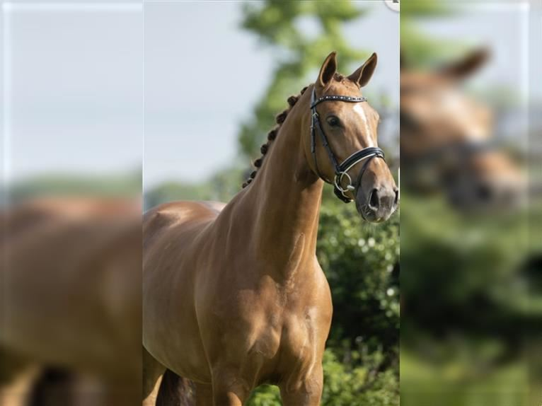 KWPN Mare 6 years 16,1 hh Chestnut-Red