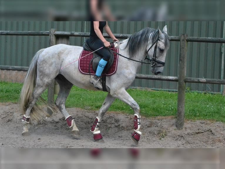 Other Breeds Gelding 11 years 15,2 hh Gray