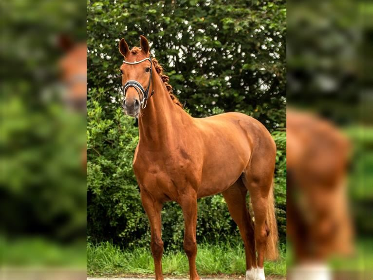 KWPN Mare 3 years 16 hh Chestnut-Red