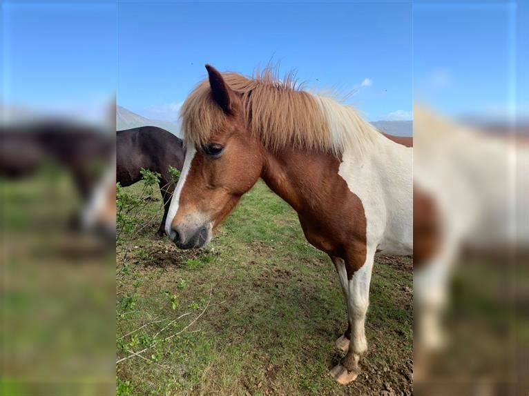 Icelandic Horse Mare 10 years 13,2 hh Tobiano-all-colors