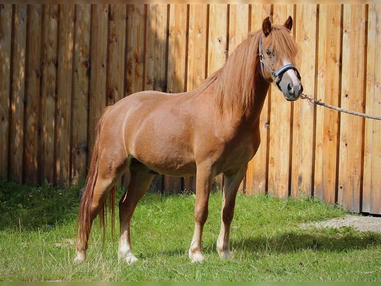 Welsh A (Mountain Pony) Gelding 4 years 11,3 hh Chestnut-Red