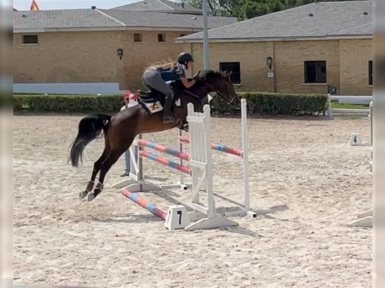 Anglo-Arab Mare 4 years 15,1 hh Bay-Dark