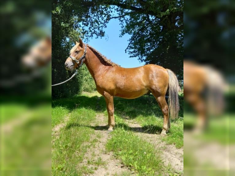 New Forest Pony Stallion 2 years 12,2 hh Chestnut-Red