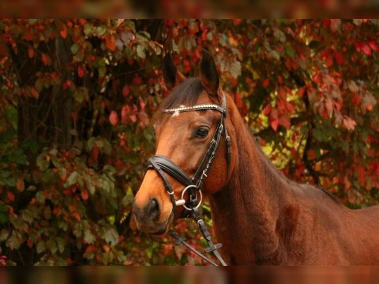 German Riding Horse Mare 3 years 15,2 hh