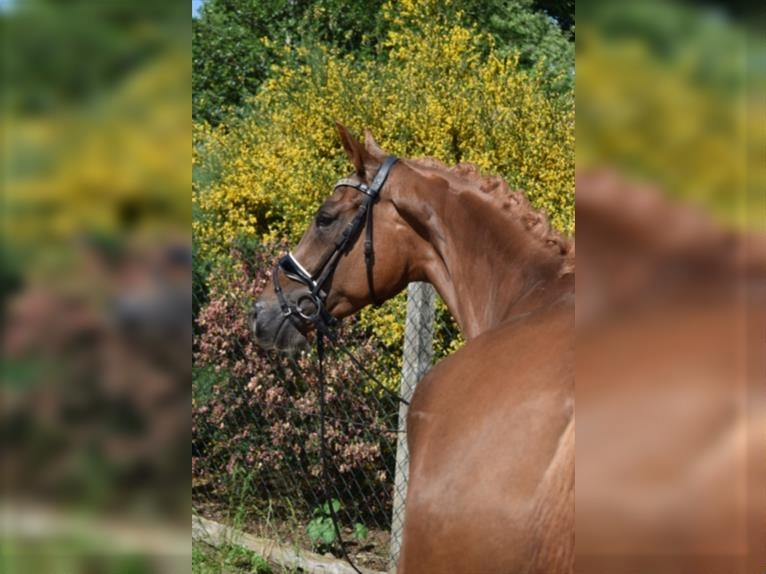 KWPN Mare 4 years 16,1 hh Chestnut-Red