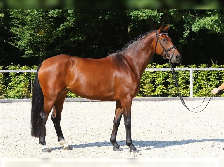 German Sport Horse Mare 5 years 16 hh Brown