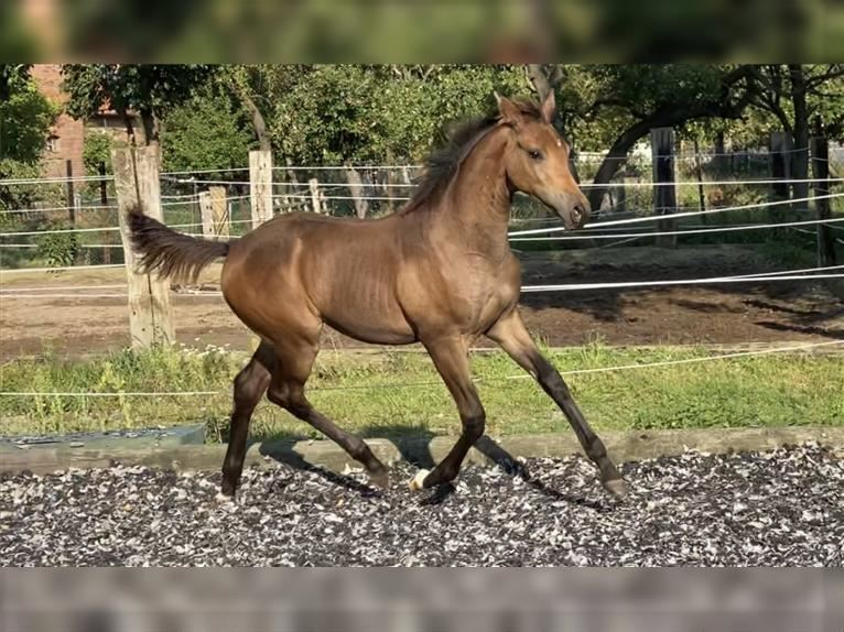 Oldenburg Mare Foal (04/2021) 16,1 hh Brown